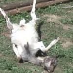 vrazale koze c